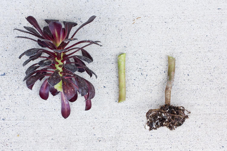 Aeonium Arboreum Zwartkop Succulents And Sunshine